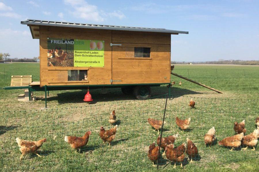 Freilandhühner von Familie Dam-Schrattenholzer, Foto von Andrea Schauerhuber