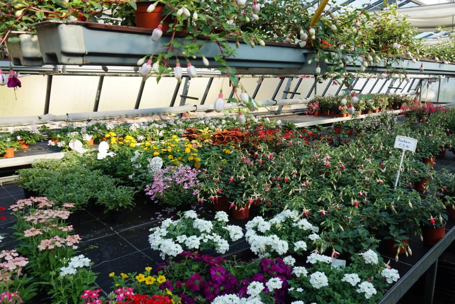 Blumen in Gärtnerei, Foto von Blumen Schwanzer